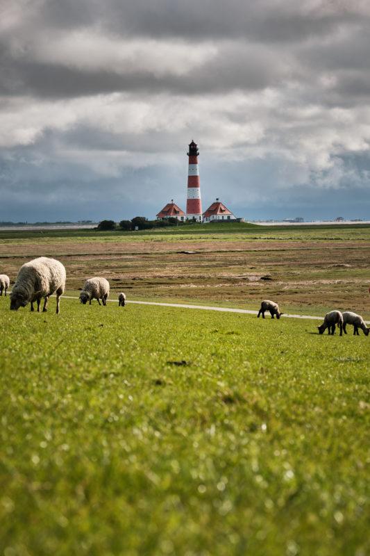 Auf den Deichen rund um den Leuchtturm grasen die Schafe am Deich